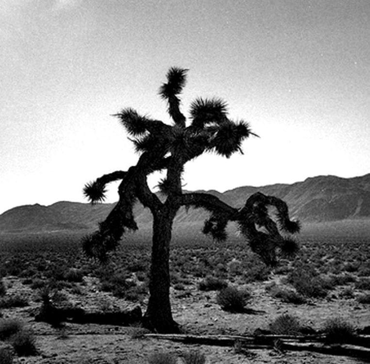 De Joshua Tree. Beeld