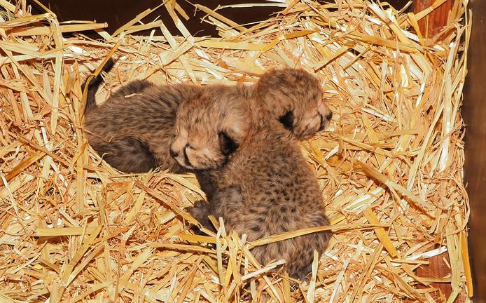 Cheetah tweeling geboren in Beekse Bergen. De twee jachtluipaardjes maken het goed.