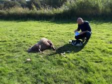 Weer schaap in Den Ham doodgebeten, de schrik zit  er goed in bij schapenboeren