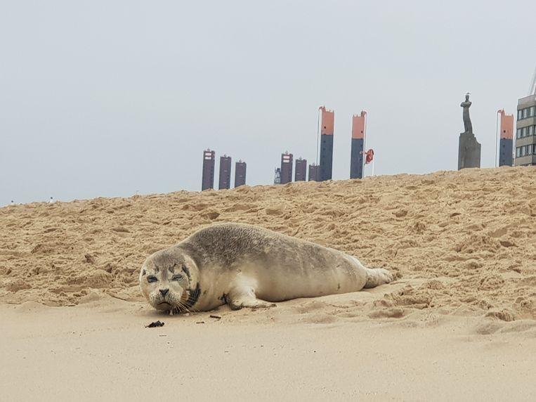 Zeehonden komen vaak op het strand om uit te rusten.
