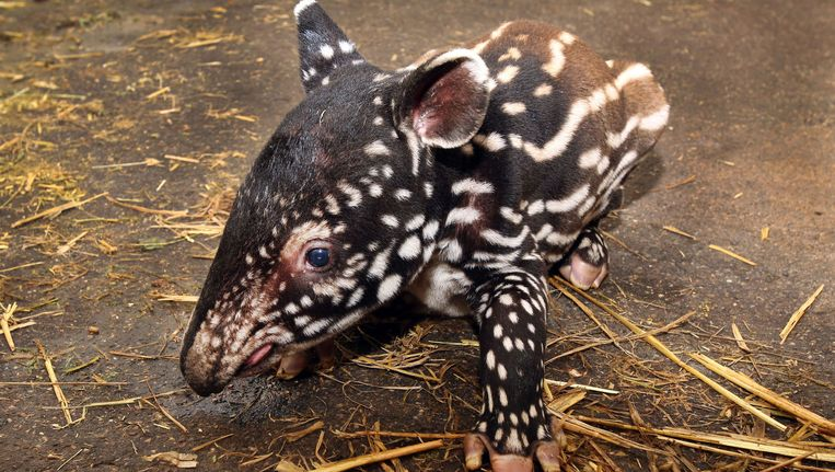 De jonge Maleise tapir Beeld Artis