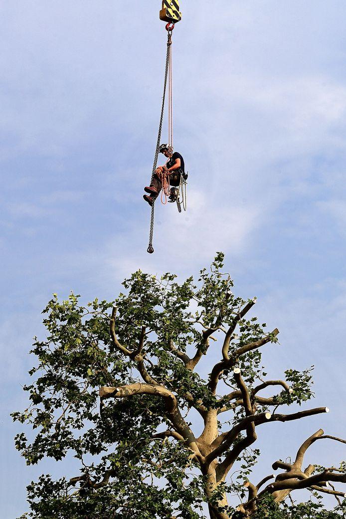 Boomverzorgers zijn twee dagen met een kraan op bijna 30 meter hoogte in de weer geweest om de monumentale platanen bij het Hof van Asselbergs in Bergen op Zoom te snoeien.