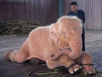 Boswachters vangen zeldzame witte olifant in Myanmar