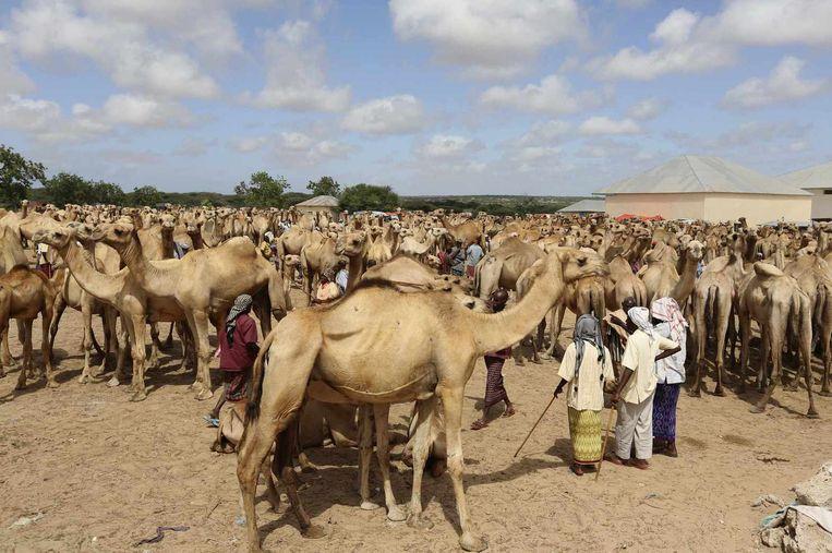 Kamelen in Somalië. De MERS-epidemie waaraan daar al honderden mensen zijn overleden komt mogelijk van kamelen uit de Hoorn van Africa. Beeld reuters