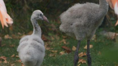 Babyboom bij de flamingo's in ZOO Antwerpen: maar liefst vier donzige kuikens geboren