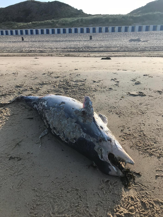 De dode bruinvis