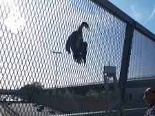 Aalscholver is een echte pechvogel: komt met kop vast te zitten in hek