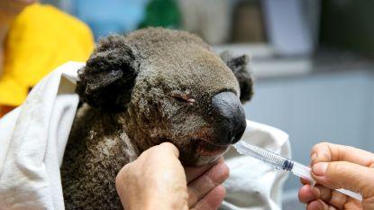 Australische bosbranden bedreigen ook koalapopulatie