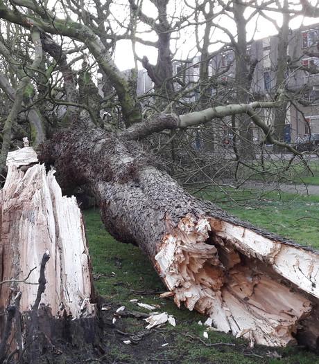 Weer kastanjes om aan Rijtuigweg-Zuid. Gemeente: bomen aan huizenkant worden gekapt
