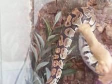 Vermiste python King weer terecht en maakt het goed