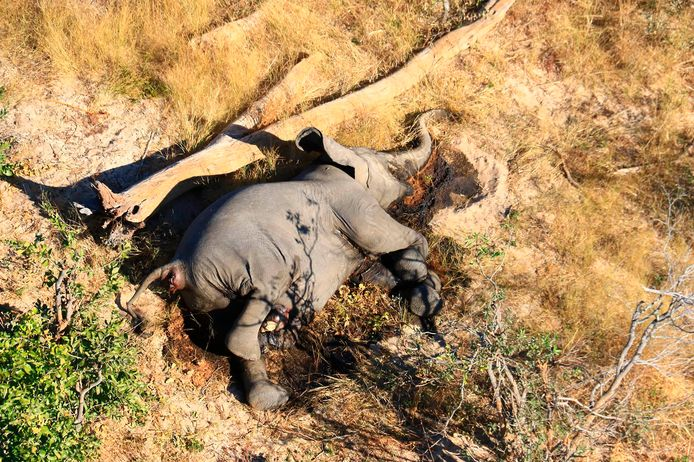 In this supplied photo a dead elephant lies in the bush in the Okavango Delta, Botswana, Monday May 25, 2020.  Botswana says it is investigating a staggeringly high number of elephant carcasses, with 275 found in the popular Okavango Delta area of the southern African nation in recent weeks. (Photo via AP)