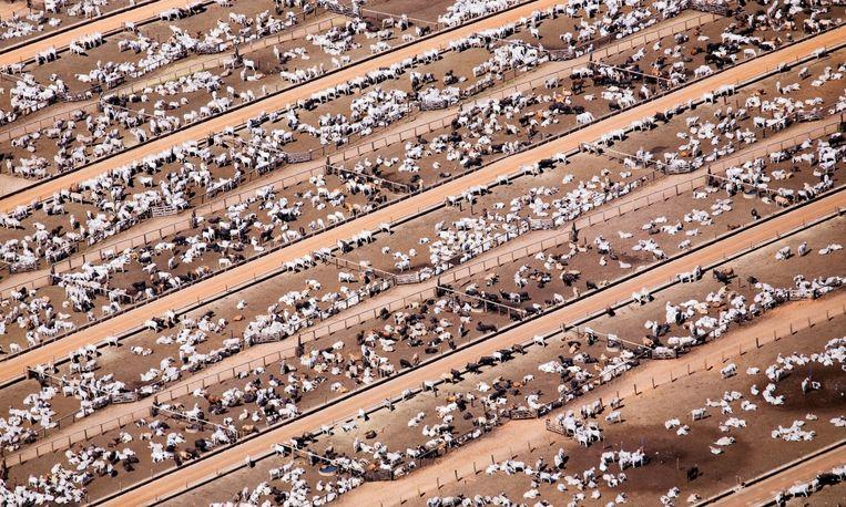Massakweek van runderen om onze vleeslust te bevredigen.