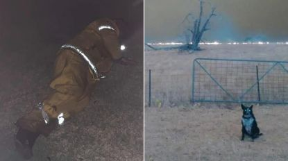 Dit zijn dé verhalen die Australiërs raken: van hond die kudde schapen redt tot uitgeputte brandweerman