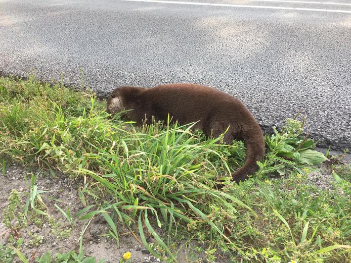 De otter die dinsdag langs de N48 bij Ommen werd gevonden.