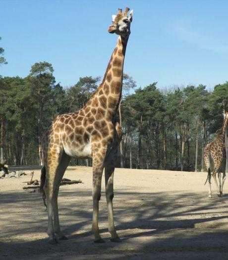 Zeven uur lang naar de dieren van Burgers' Zoo kijken en luisteren vanuit je luie stoel? Dat kan!
