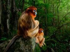 Nederlandse fotograaf wint Oscar van de natuurfotografie dankzij goudapen