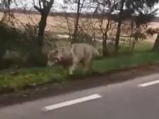 Drenthe krijgt melding dood schaap na opduiken wolf