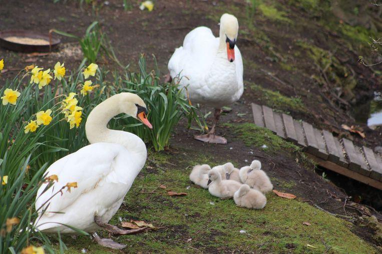Dieven zijn er vandoor gegaan met minstens 25 eieren uit de zwanennesten langs 't Stil Ende in Brugge.