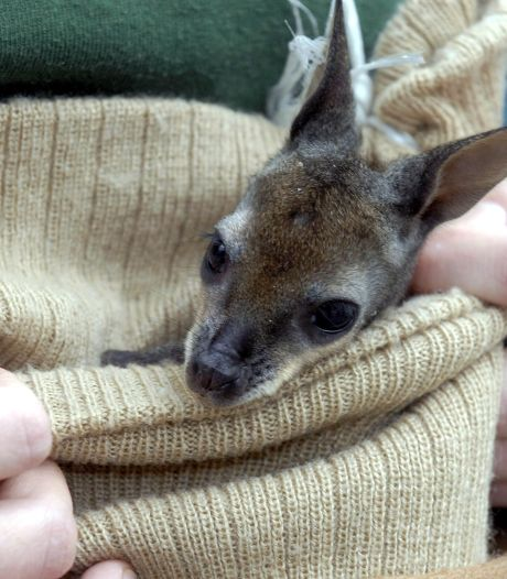 Deventer maakt nu ook buidels voor kangoeroe-weesjes
