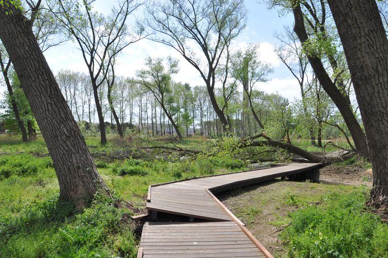 Een boom die kantelde, duwde met zijn wortels de planken van het pad omhoog.