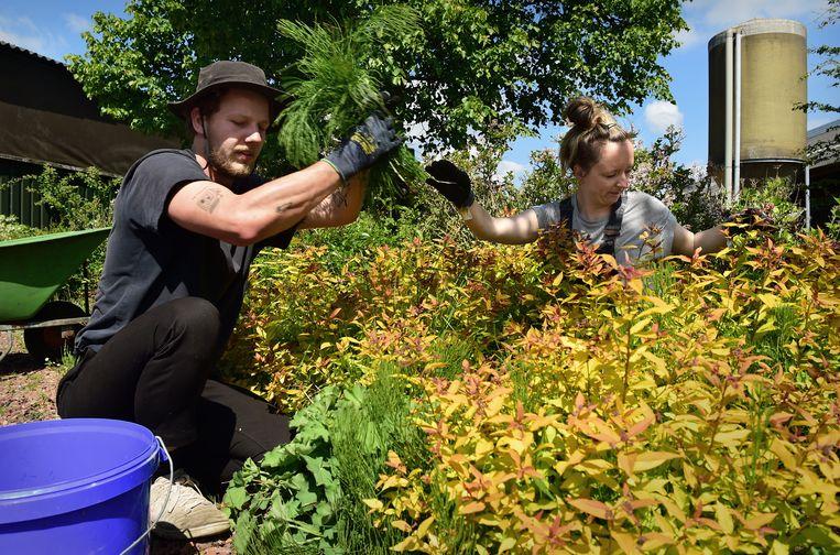 Jongeren die normaal op festivals werken, zijn nu aan het werk op een biologisch dynamisch boerenbedrijf.  Beeld Marcel van den Bergh
