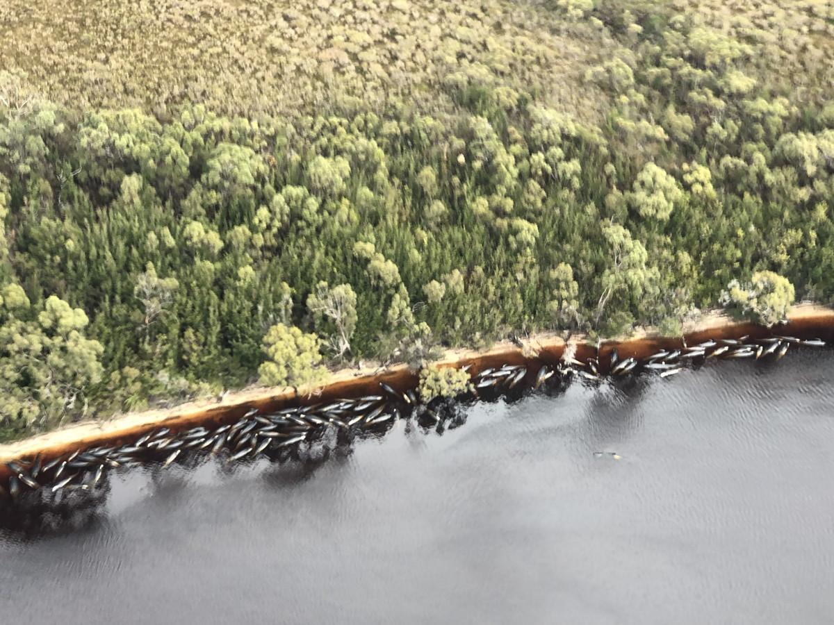 Een luchtfoto met daarop tientallen aangespoelde, dode dieren.