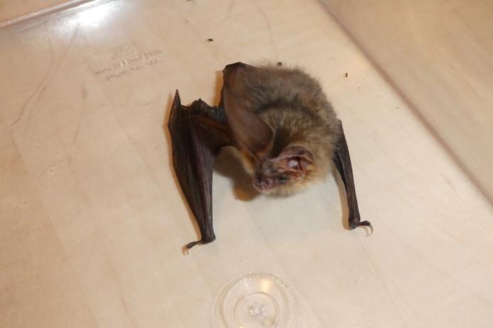 Vleermuizen hebben het nakijken als de spouwmuur wordt volgespoten met isolatiemateriaal.