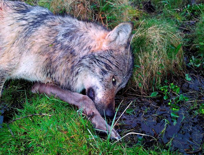 De eerste wolf die Duitsland voor het eerst in 100 jaar aandeed, werd in 2012 ook doodgeschoten.