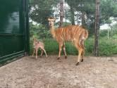 Geboortegolf Beekse Bergen gaat verder: nyala geboren in safaripark