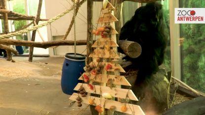 Opvallende video: gorilla Matadi 'versiert' kerstboom in Antwerpse Zoo