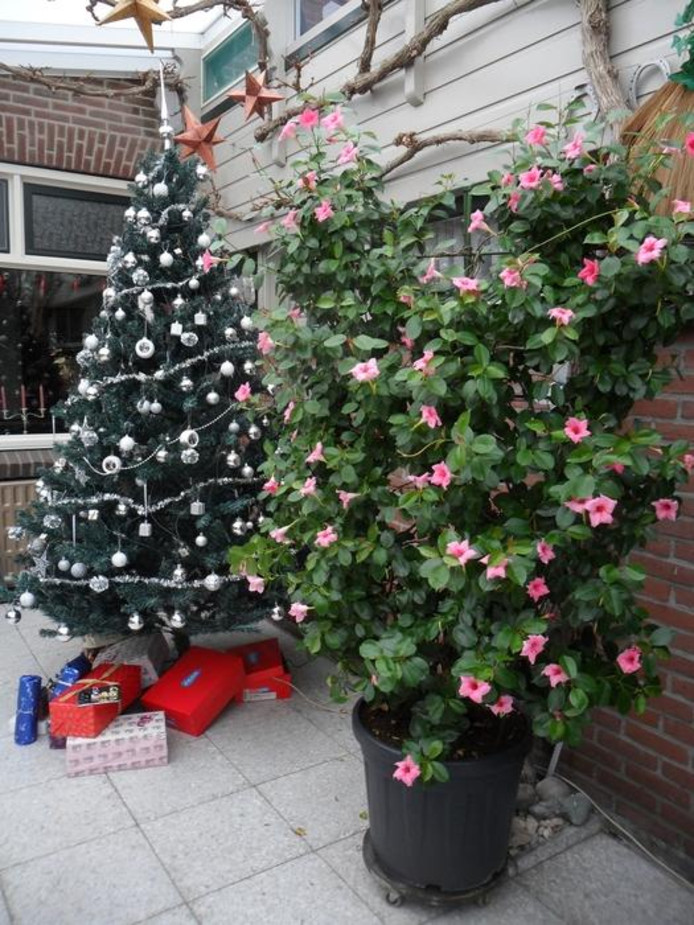 Drukte Bij Tientallen Kerstbomenverkopers In De Regio Gezelligheid