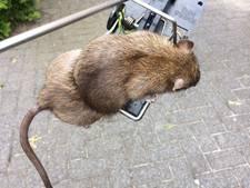 Delen van Boekel kampen met rattenplaag