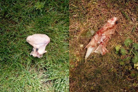 """Enkele buren, die liever anoniem blijven, vonden zondag dit slachtafval in hun achtertuin: """"Als onze hond dat afval opeet, zit hij gegarandeerd met een voedselvergiftiging."""""""