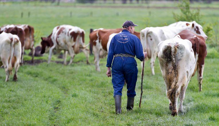 De koeien gaan na het melken weer naar buiten bij boerderij Den Hoek in Wilp-Achterhoek Beeld ANP