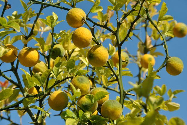 Ze zijn prachtig, de citroenbomen. Maar weet je ook hoe je die moet verzorgen? Experte Laurence geeft tips.