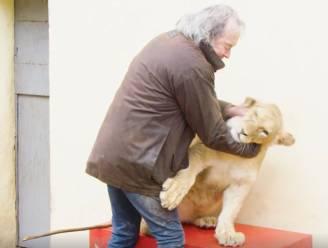 """VIDEO: """"Nog nooit ongeluk gehad, maar het kan altijd gebeuren"""": man houdt zeven leeuwen en tijgers als 'huisdier'"""