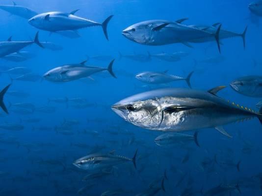 Een school tonijn.