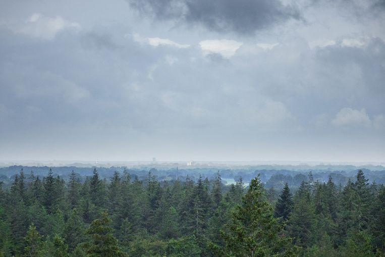 Het oudste naaldbomenbos van Nederland. Beeld Johan Nebbeling