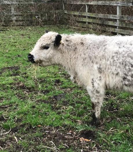 Nieuwe stier Zoelu moet voor Alphie en Ayla zorgen