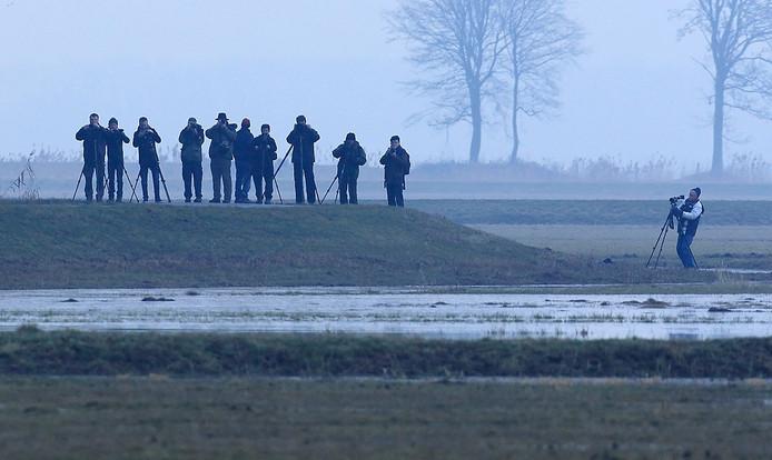 De Mongoolse pieper lokt veel vogelaars naar de Biesbosch Foto Jacques van der Neut