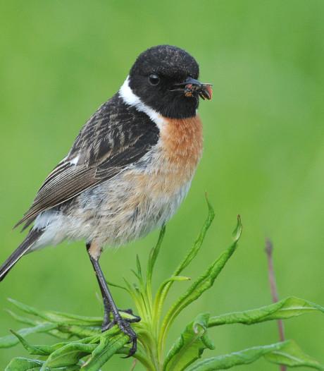 Kleine zangvogel is in Oost-Nederland terug van weggeweest