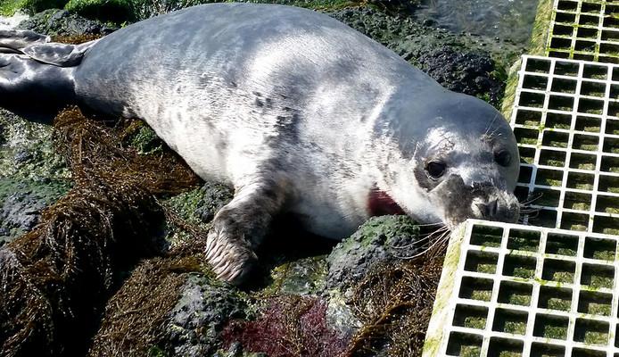 Zeehond gewond aan hals bij Scherpenisse