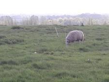 De schapen op de Bavelse Berg grazen straks onder de zonnepanelen
