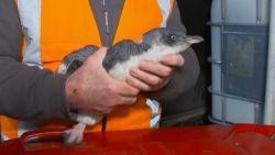 Pinguïns waggelen sushibar binnen (en willen dan niet meer weg)