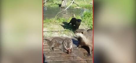 Fruit-ijsjes in ZooParc Overloon: dieren genieten van verkoeling tijdens hittegolf