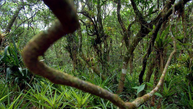 Archiefbeeld van een jungle. Beeld anp