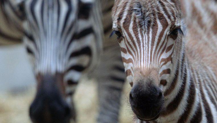 Zebra's Beeld ANP