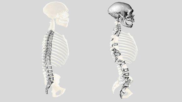De voormalige gedachte over de wervelkolom van neanderthalers (links).  De nieuwe reconstructie (rechts).