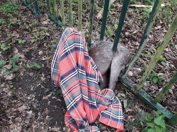 De vrijwilligers legden een doek over het dier om het te kalmeren.