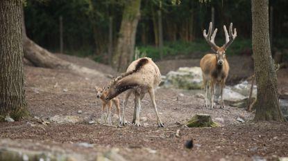 In het wild uitgestorven hertje geboren in Pairi Daiza: dit zijn de eerste beelden